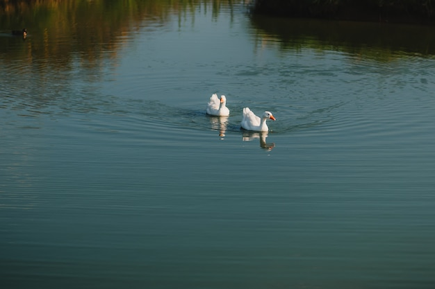 Pair of white geese swims on the lake