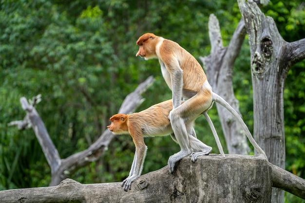 Pair of wild proboscis monkeys makes love in the rainforest of island borneo, malaysia, close up