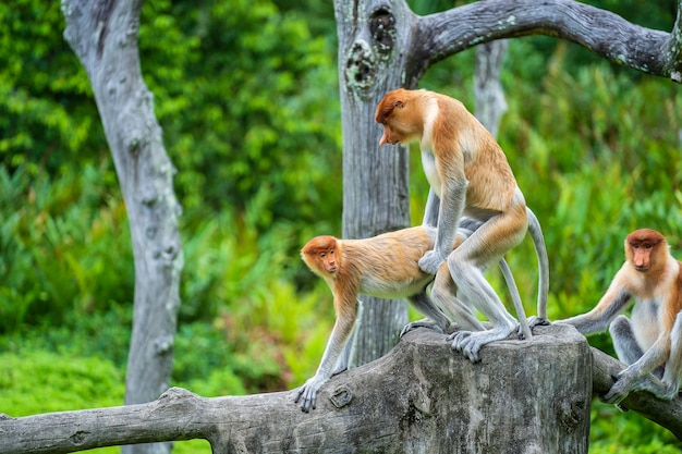 Pair of wild proboscis monkeys makes love in the rainforest of island borneo, malaysia, close up