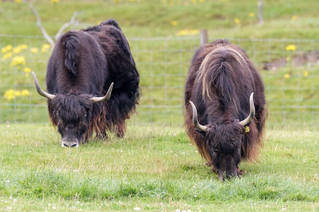 A pair of yak (bos grunniens) grazing