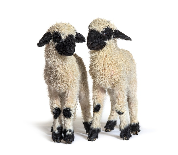 Paire of lambs valais blacknose sheep standing on white