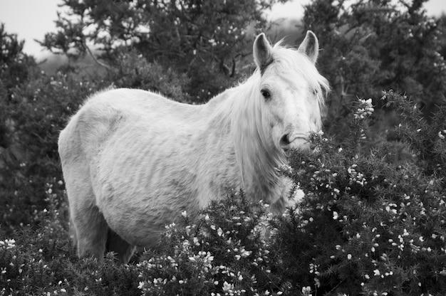 Palamino new forest pony roaming free