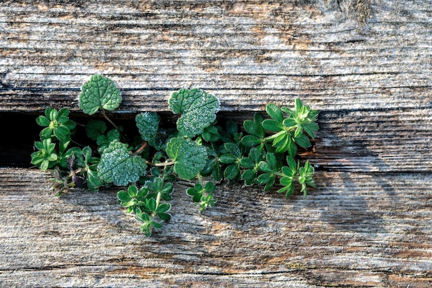 옅은 갈색과 시원한 푸른 색 매립 소나무 목재 표면에 오래된 보드와 녹지 않는 녹색 식물이 있습니다.