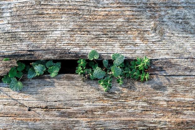 옅은 퇴색 한 갈색과 시원한 파란색 매립 소나무 목재 표면에 오래된 보드와 자유 녹색 식물
