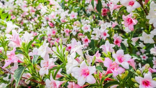 Бледно-розовые цветы weigela florida variegata цветочный фон