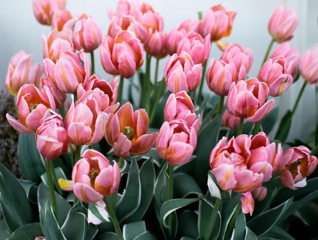 淡いピンクのチューリップ、春の花。庭には美しい花束が生えています。