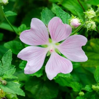 葉の背景に5枚の花びらを持つ淡い紫色のゼニアオイ。ジャコウアオイ。ラバテラ