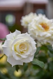 Бледно-желтые и белые розы в темноте