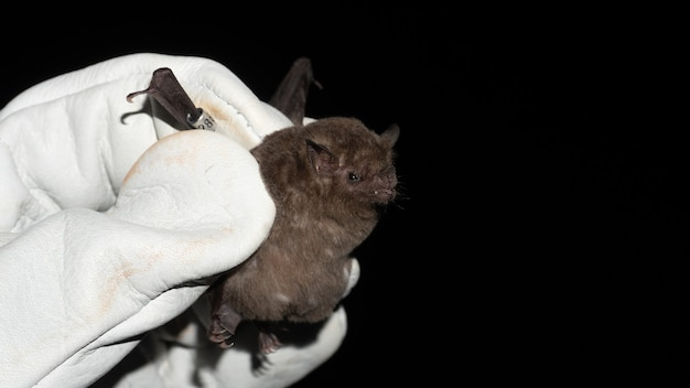 Летучая мышь палласа с длинным языком (glossophaga soricina) - летучая мышь из южной и центральной америки с быстрым метаболизмом, которая питается нектаром.