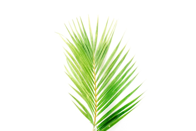 Palm branch isolated on white