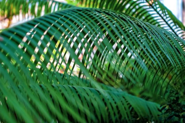 Пальмовые ветви с узкими тонкими зелеными листьями Premium Фотографии