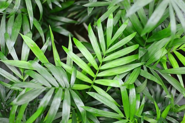 Листва пальмы хамедореи