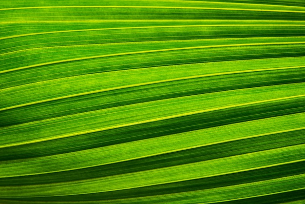 Palm or coconut green leaf texture and sunlight in green nature background concept