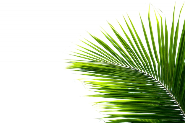 ヤシのココナッツの葉の白い背景
