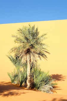 A palm in the desert with sand dunes and blue sky