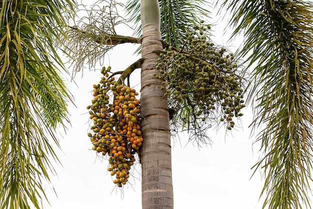 Palm fruit -ornamental decoration plant in gardens