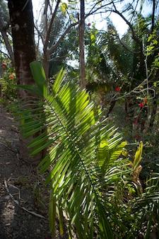 Palm leaf in the jungle in costa rica