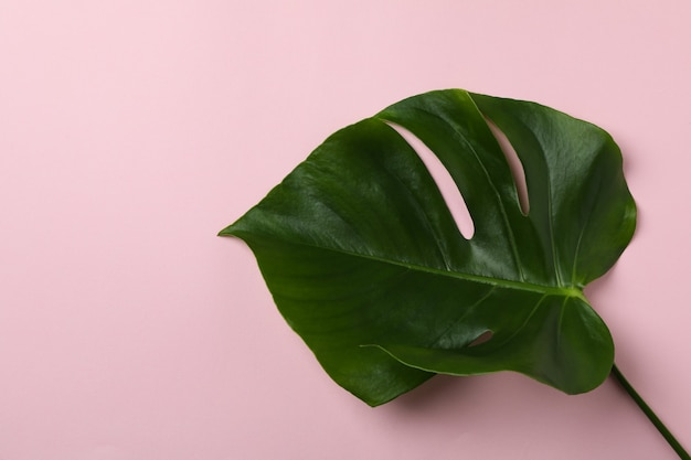 Palm leaf on pink isolated background, space for text