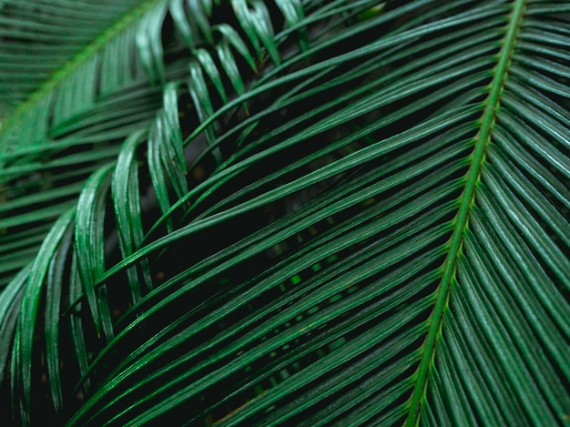 Palm leaves in a natural environment. rich greenery. plants in botanical garden.