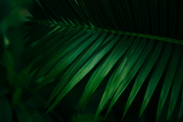 Palm leaves natural green - leaf beautiful in the tropical forest plant jungle
