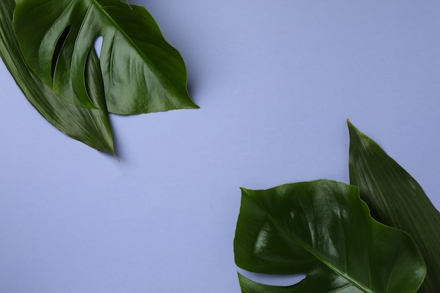 Palm leaves on violet isolated background, space for text