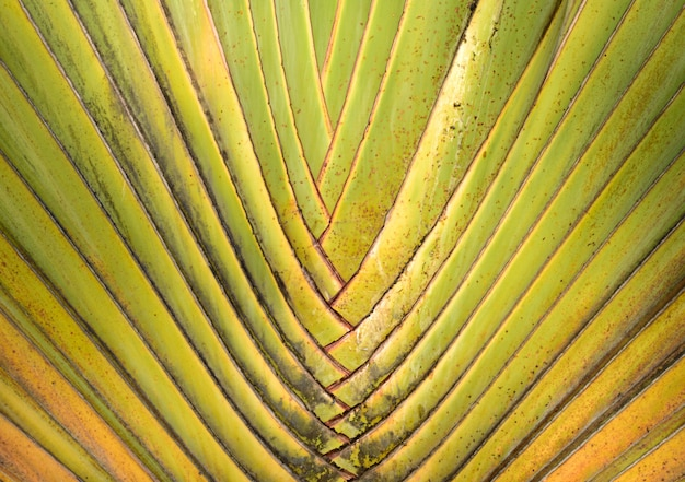 Palm line ornamental tree green and yellow color