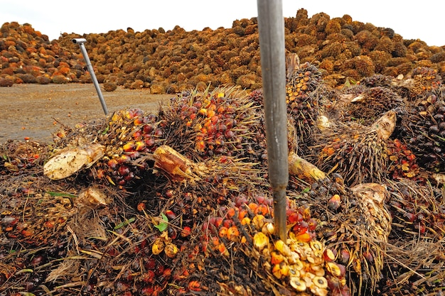 Palm oil fruits on the floor