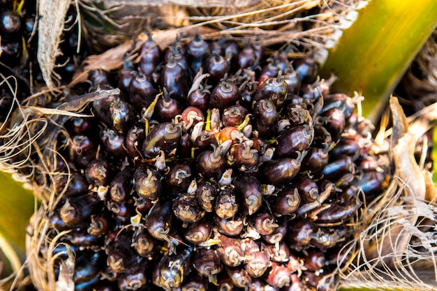 Palm oil fruits on a tree at thailand.