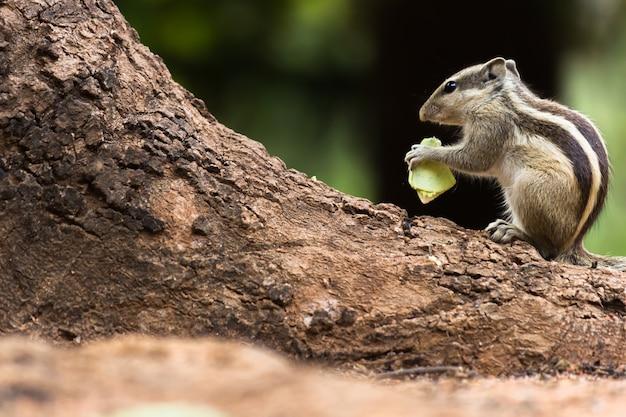 パームリスまたは齧歯類、または木の幹に座っているシマリスとしても知られています