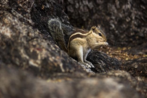 ヤシリスまたは齧歯動物、または木の幹にしっかりと立っているシマリスとしても知られています