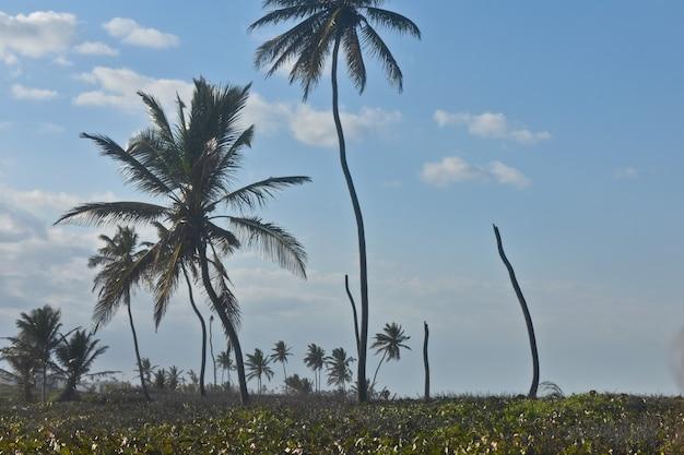 手のひらの茂み。ドミニカ共和国
