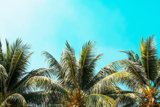 Palm tree on blue sky with sunshine background