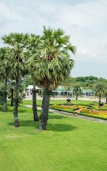 Palm tree or borassus flabellifer