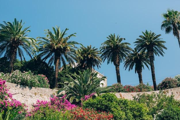 モンテネグロのヤシの木ナツメヤシ