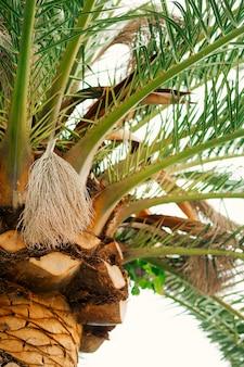Palm tree date tree in montenegro