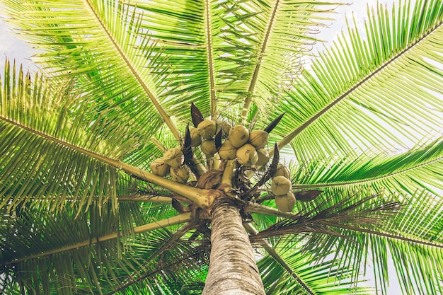 Palm tree full of coconuts illuminated by sunlight. costa rica