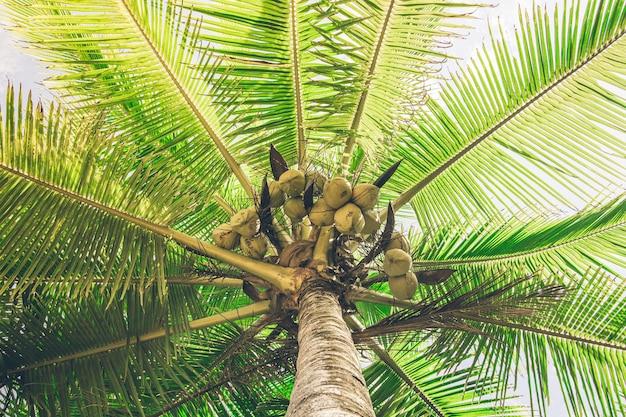 햇빛에 의해 조명 코코넛의 전체 야자수. 코스타리카
