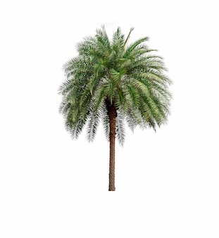 Palm tree in garden isolated on white background