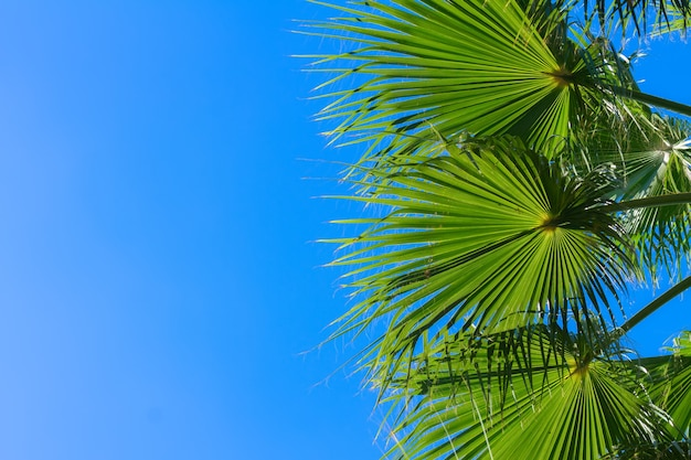Зеленые листья пальмы на фоне ярко-голубого неба