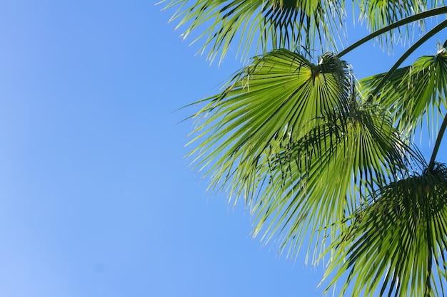 Зеленые листья пальмы на фоне ясного голубого неба