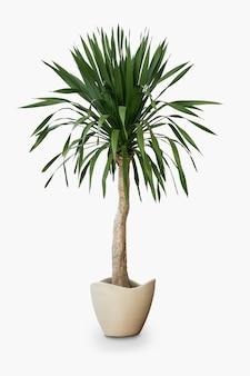 Пальмовое домашнее растение в горшке