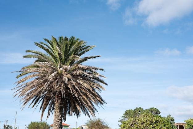 Пальма в галисийское лето с местом для копирования для добавления текста или дизайна справа от голубого неба и некоторых облаков, полезных в качестве фона