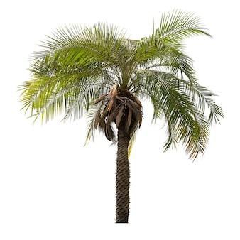 Пальма, изолированные на белом фоне для дизайна материала