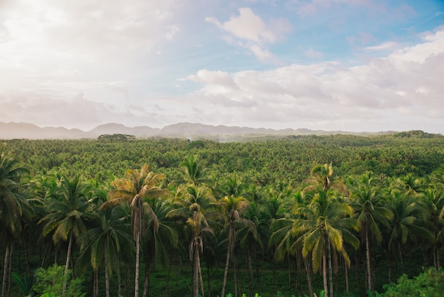 Palm tree jungle in the philippines. concept about wanderlust tropical travels.