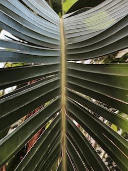 팜 트리 잎 텍스처입니다. 아름다운 여름 이국적인 열대 자연