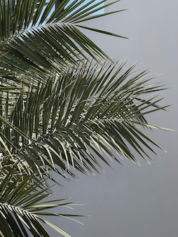 Palm tree leaves on neutral background. beautiful summer exotic tropical nature