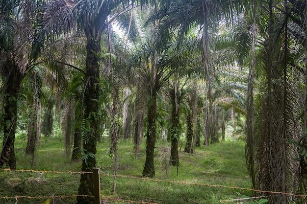 Плантация пальм, где когда-то был тропический лес. кучинг, борнео в малайзии.
