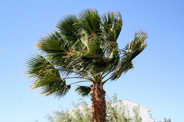 Пальма под сильным ветром на курорте в египте