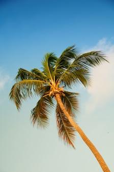 Пальма с кокосами против голубого неба.