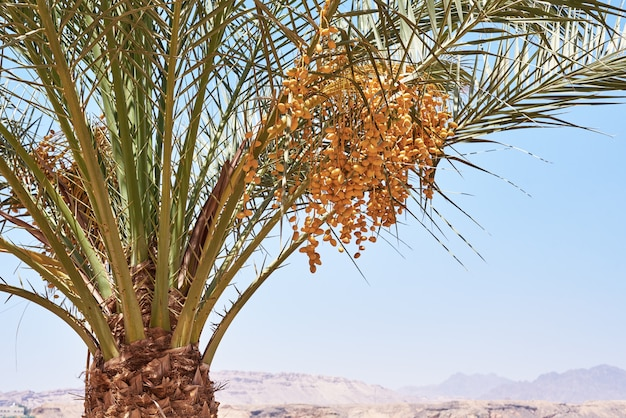 Palm tree with date fruits close up